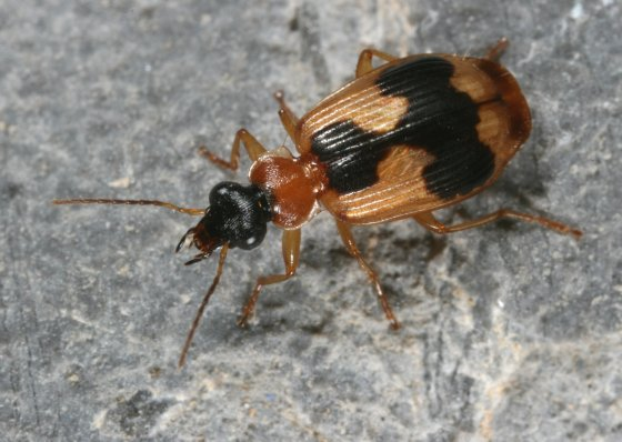 Carabid 6 - Lebia variegata