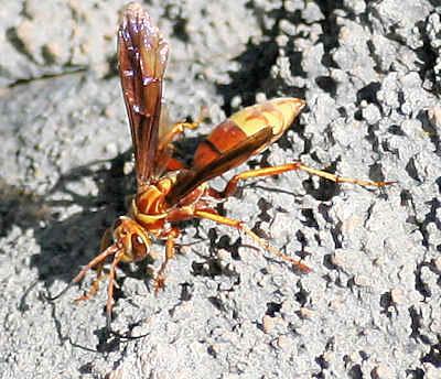 Poecilopompilus sp? - Poecilopompilus
