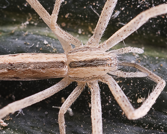 unknown spider - Tibellus