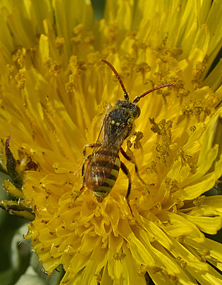 Wasp perhaps 6612 & 6615 - Nomada