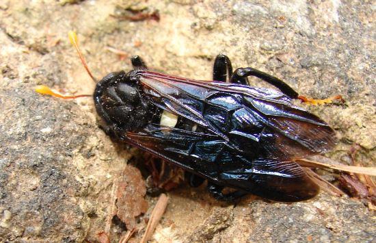 Elm Sawfly (?) - Cimbex americanus