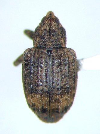 Conotrachelus seniculus - male