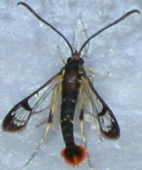 Maple Callus Borer - Synanthedon acerni