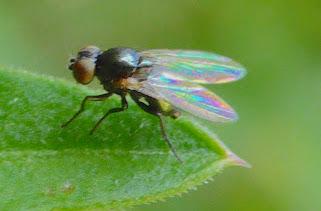Black fly with iridescent wings - Melanagromyza