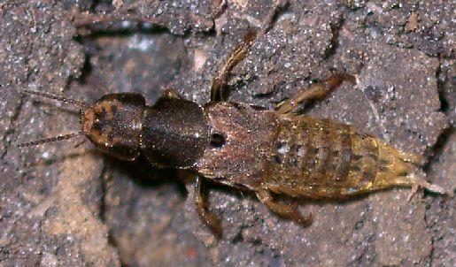 brown rove beetle - Platydracus maculosus