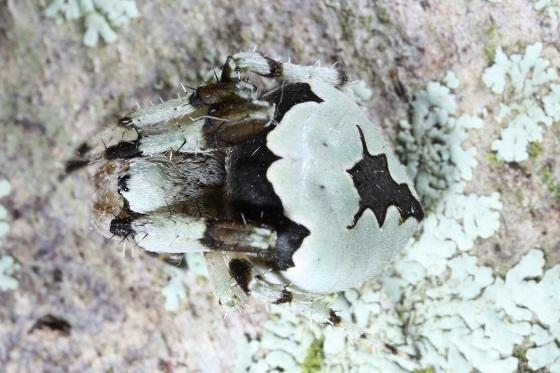 lichen-o-phile spider - Eustala anastera