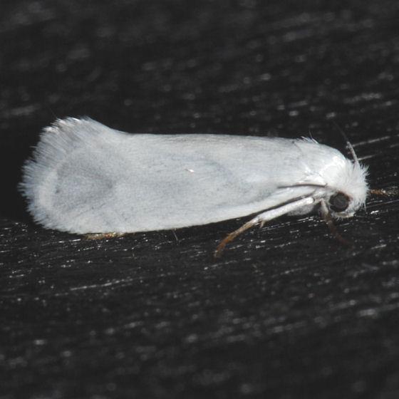 Yucca Moth - - Prodoxus decipiens