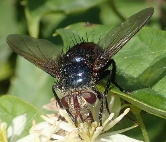 Unknown fly - Archytas metallicus