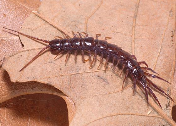 Centipede - Lithobius forficatus