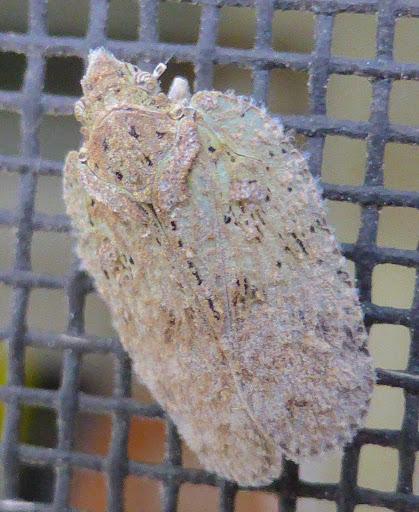 Flatid Planthopper - Flatoidinus punctatus