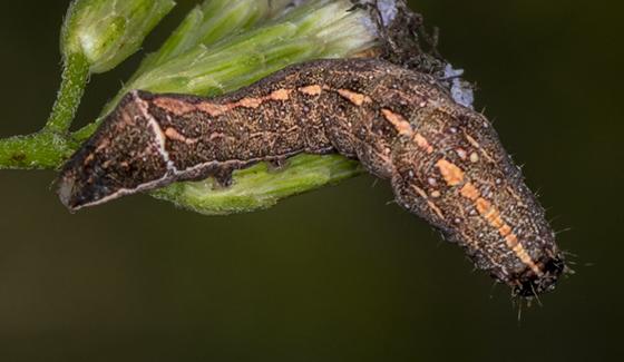 Caterpillar ID request