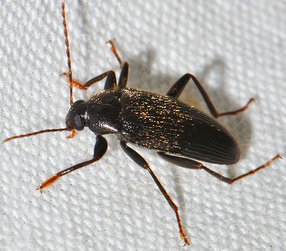 Lobopoda punctulata? - Lobopoda punctulata