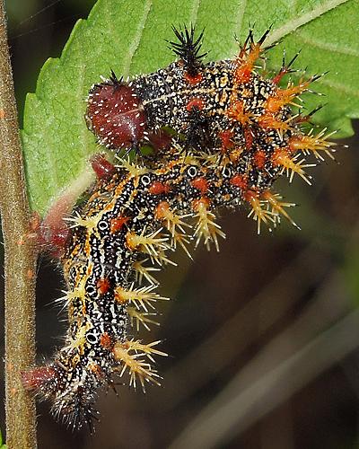 Buck Moth Caterpillar ? - Polygonia interrogationis