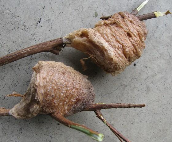 Chinese Mantid oothecae - Tenodera sinensis