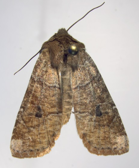 Nochtuidae - Crocigrapha normani