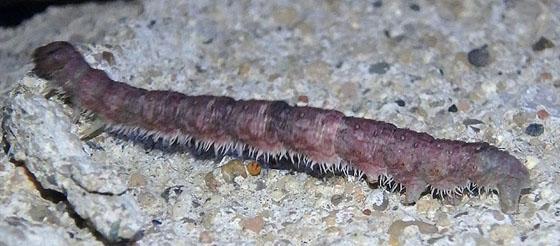 Purplish caterpillar - Campaea perlata