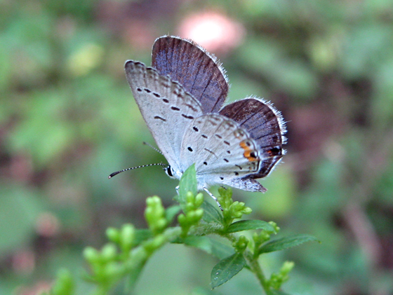 Eastern tailed-blue? - Cupido comyntas