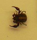 Crab or Scorpion-like bug.