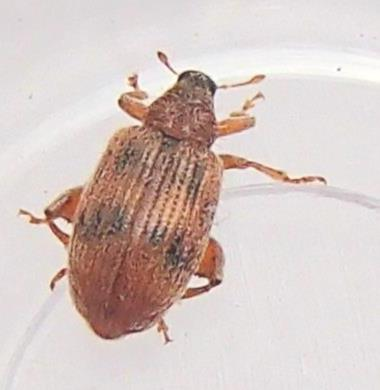 Flea Weevil - Orchestes steppensis