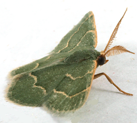 Moth to blacklight - Chlorochlamys phyllinaria - male