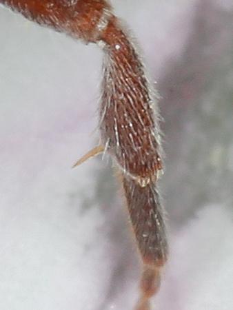 Nomada articulata? - Nomada articulata - female
