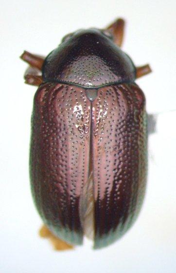 Rhabdopterus - Rhabdopterus picipes - male