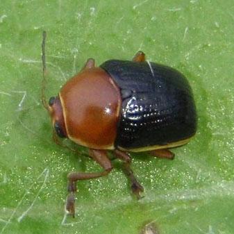 unknown beetle - Cryptocephalus venustus