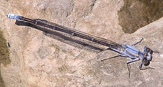 Powdered Dancer - Argia moesta - male