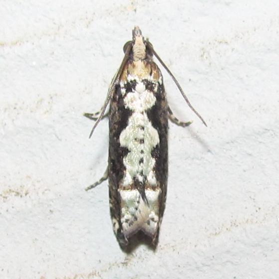 Filigreed Chimoptesis, #3273 - Chimoptesis pennsylvaniana