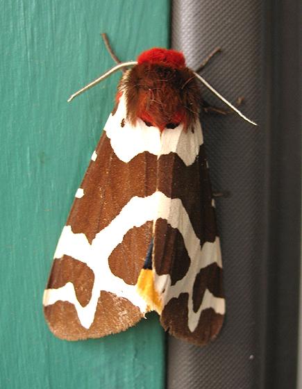 unknown moth - Arctia caja