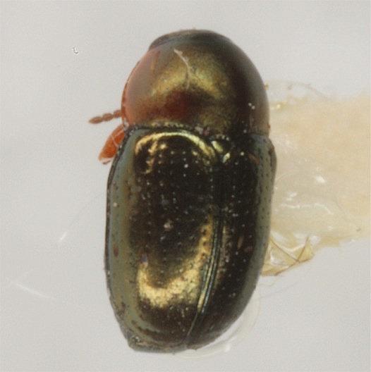 Diachus auratus (Fabricius) - Diachus auratus