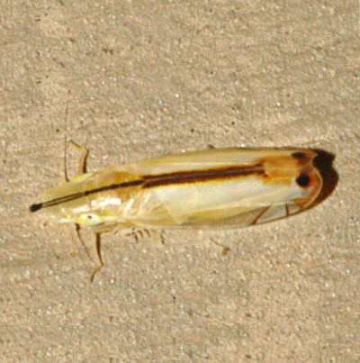 Two-spotted Leafhopper - Sophonia orientalis