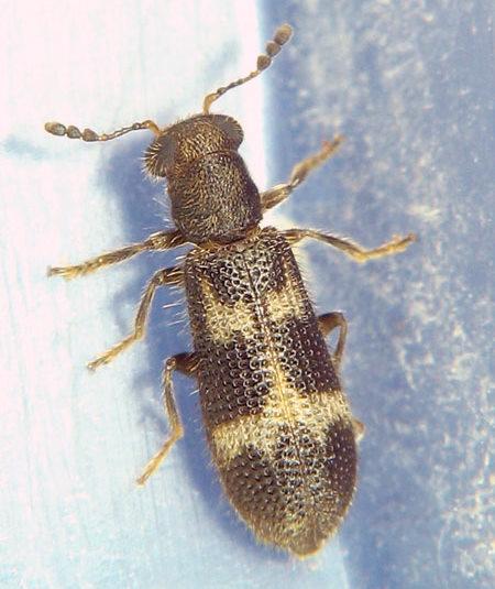 from my pine bark container - Madoniella dislocata