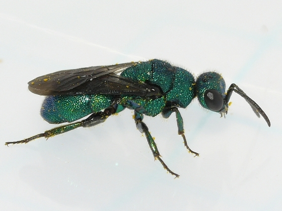 wasp - Hedychrum - male