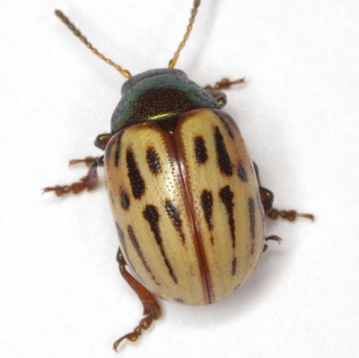 Leptinotarsa lineolata (Stål) - Leptinotarsa lineolata