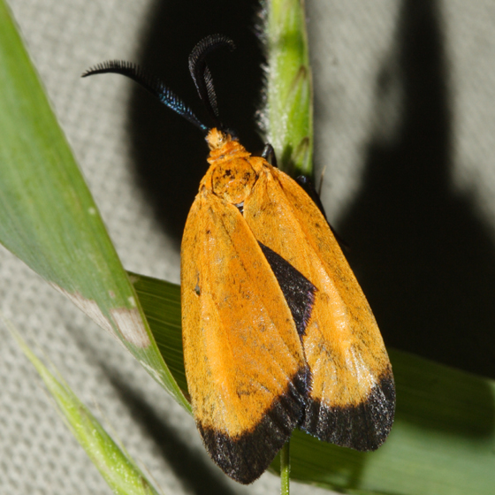 moth - Neoalbertia constans