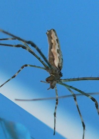 Tetragnatha versicolor - female