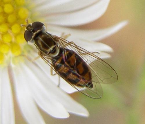 T. marginatus - Toxomerus marginatus - female