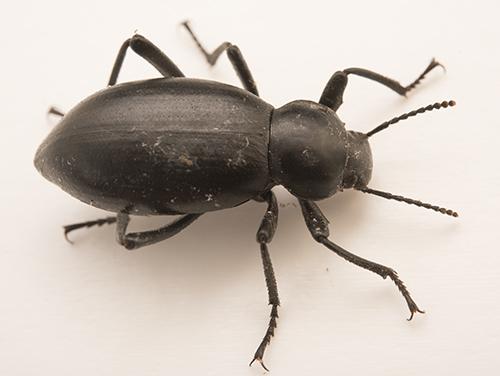 Possible darkling beetle - Eleodes dentipes