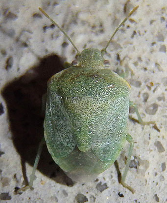 small green stink bug - Tepa brevis