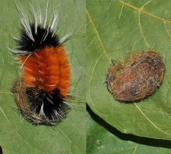 Lophocampa maculata - Development Sequence and observations - Lophocampa maculata