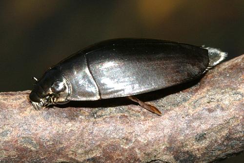 Whirligig Beetle - Dineutus