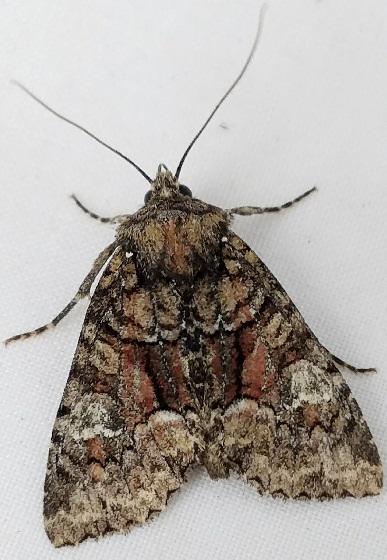 Fishia illocata (Wandering Brocade) - Fishia illocata - female