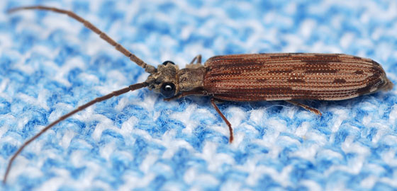 reticulated beetle - Tenomerga cinerea