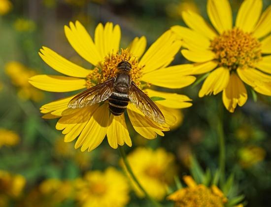 Bee - Exoprosopa