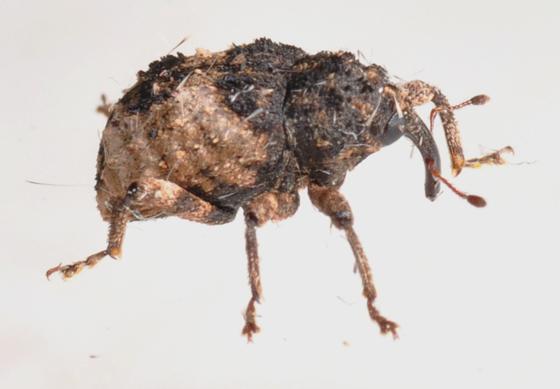 New weevil - Cryptorhynchus fuscatus