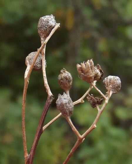 Spiraea gall (maybe) #2