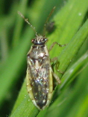 ID for (another) probable Rhopalid in CA? - Brachycarenus tigrinus
