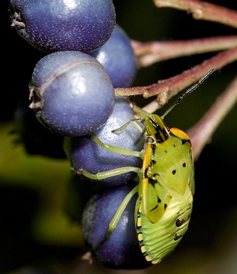 immature Green Stink Bug - Chinavia hilaris