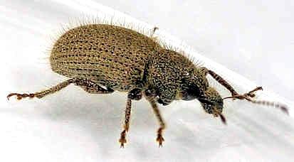 Weevil - Peritaxia - Peritaxia hispida